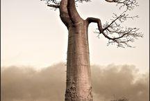 Inspiration - Baobab trees
