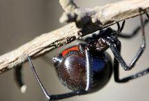 """Araignée dangereuses / """"Les araignées, les vipères, les méduses, la trahison, le mensonge, l'injustice et le crime ont aussi leur beauté.""""     (Jean d'Ormesson)"""