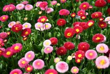 BELLIS / Varieties and Colours