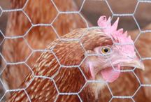 Chicken Coops and ideas / Ideas for backyard chickens