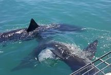 Sharks / Great WHite Sharks in SOuth Africa, the ultimate shark cage diving experience