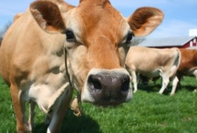 Grass Fed For the Win  / Your resource for the benefits of grass-fed dairy cows