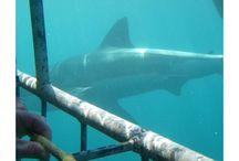 Cage Diving with Great White Sharks / Welcome all shark cage divers!  Great White Shark Tours is your responsible marine tourism company when you make a choice. Enjoy our photos of what is happening on our trips.