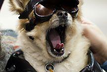 Harley Davidson dogs
