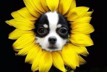 For My Chihuahuas & More♡♡