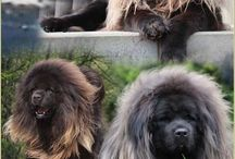Dogue/Mastiff du Tibet