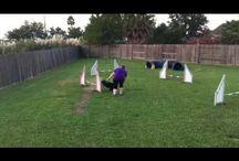 Agility dog video