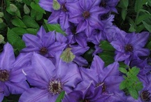 Clematis and Other Clinging Vines / by Sandy Blazewicz Strom