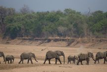 Elephants in the South Luangwa