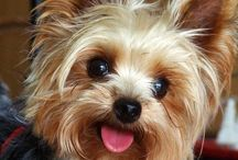 Yorkies and Favorite Dog Products / Love Yorkies? Find cute Yorkies, tons of great dog products, and more!