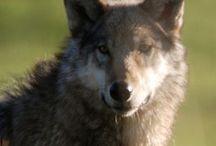 Wolf / Volf