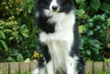Bax -my border collie