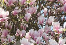 What to do with magnolia leaves/pretty mangolia trees
