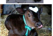 serce zwierzęce