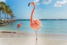 Aruba / Een vakantie Aruba staat voor parelwitte stranden, een azuurblauwe zee, watersporten, palmbomen, luxe resorts en kleurrijke gebouwen in de hoofstad Oranjestad. Het tropische vakantie-eiland, ook wel 'One Happy Island' genoemd, behoort tot de Benedenwindse Eilanden van de Kleine Antillen. Dit paradijsje is een perfecte vakantiebestemming met een enorme diversiteit.