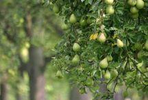homestead ~ orchard