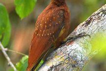 Ağaçkakan(Woodpecker)