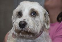 Available for Adoption / Learn about adopting a puppy mill survivor from National Mill Dog Rescue here: http://milldogrescue.org/our-dogs/adopt/ / by National Mill Dog Rescue