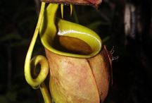 Nepenthes / Carnivorous plant of Borneo