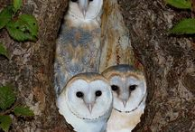 Owl,bagoly