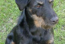 JAGDTERRIER / Comme DIANE (mon adorable chienne adoptée il y a 3 ans à l'âge de 4 ans) croisée Jagd Terrier/Husky