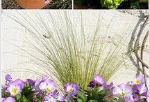 Viola cornuta, pensées et composition d'automne
