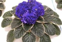 Favorite standard violets / A few of our favorite standard size African violets.