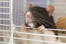 Rats / Kill, rats, get rid of rats