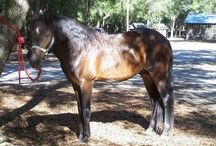 Лошади породы флоридский крэкер / Флоридский крэкер – одна из самых малочисленных аллюрных пород, одновременно приспособленная для работы на ранчо, а эти два качества у пород США сочетаются редко.