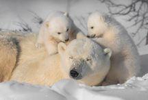 Берёзовые медведи