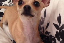 Chichi crazy! / All things chihuahua featuring my little Lou Boo