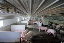 """All About Pigs / What's the """"pig"""" deal about porkers?"""