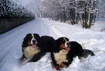 bernese mountain dog / Repin