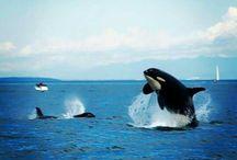 ORCA ' S