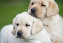 Lab Lovers! / Pix of our favorite labs…how can anyone resist such cuteness! :-)