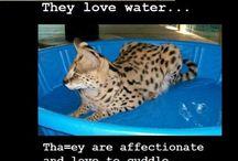 Коты саванны