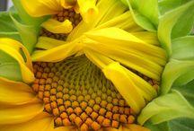 Auringonkukkia - Sunflowers