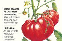 Botanical Interest - Tomatoes