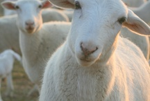 Counting Sheep / Sunshine on wool.
