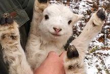 goats lambs