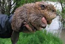 Family Castoridae. / Beavers.