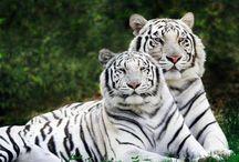 Big Pussy Cats