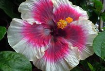 Hibiscus / Flowers