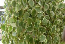 plantas pendentes ( peperonia , jibóia , hera )