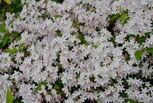 Deciduous shrubs / Deciduous shrubs that I recommend