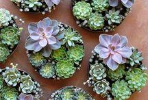 ♡ Succulents ♡