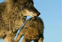 Wild dogs and wolves