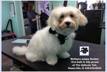 Maltipoo Grooming at The UpScale Tail, Naperville