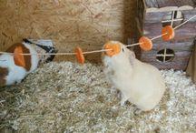 guinea pig ideas