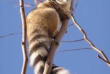 hej lemurze